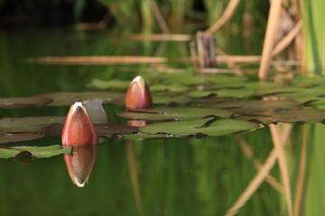 Seerose Blüte geschlossen