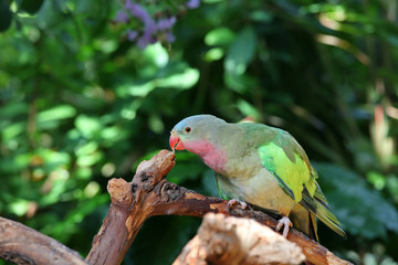 Lovebird with pink and green feathers looking curious
