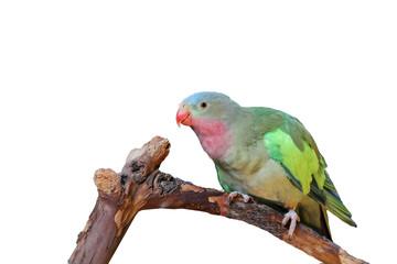 Lovebird with pink and green feathers isolated