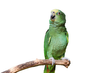 Parrot or macaw with green and yellow feathers isolated