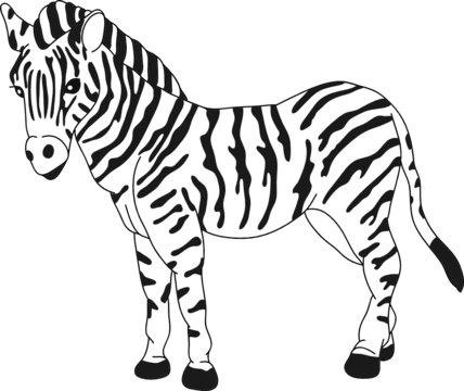 vector - zebra standing isolated on background