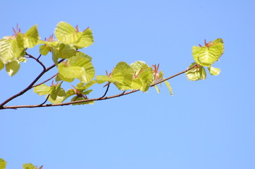 Beech leaves in early spring