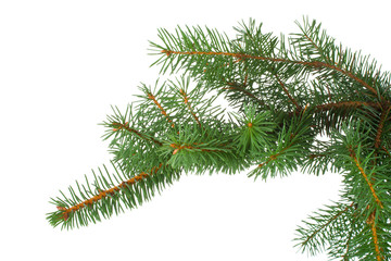 branch of fir-tree isolated