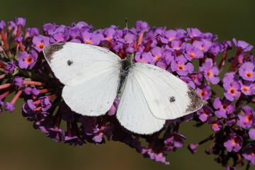 Fotoväggar - Cabbage White Butterfly
