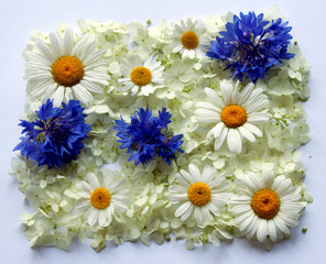 Camomiles and cornflowers against from white florets