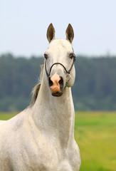 Wall Mural - white purebred stallion