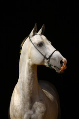 Wall Mural - white horse isolated on black