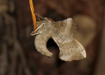 Poplar Hawk-moth, underside view