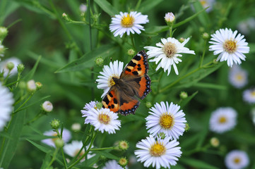 The butterfly on a camomile