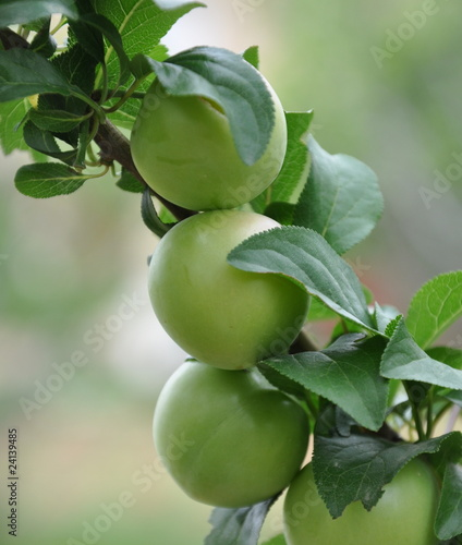 arbre fruitier le prunier photo libre de droits sur la banque d 39 images image. Black Bedroom Furniture Sets. Home Design Ideas