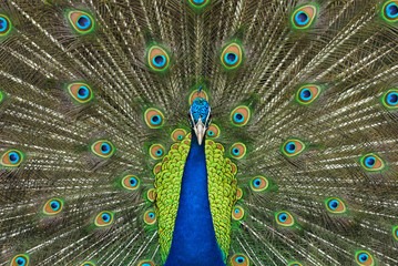 Beautiful spread of a peacock