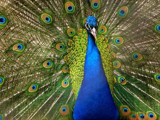 Peacock showing his array of feathers