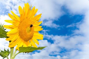 Sunflower and sky