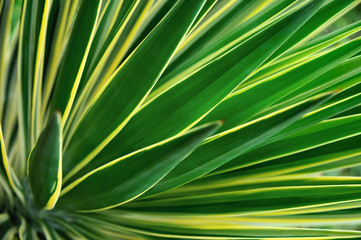 Close up of Yucca