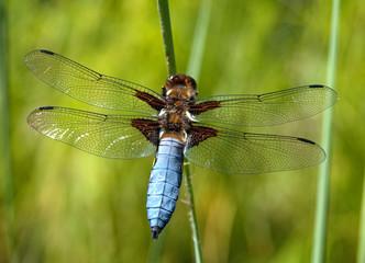 Libelle - Odonata