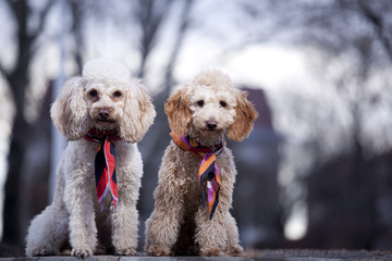 two poodles posing