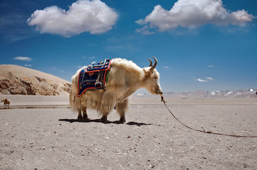 Tibetan yak near Namtso Lake