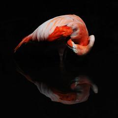 Flamingo 3