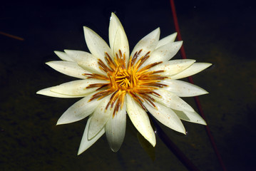 ninfea fiori 474
