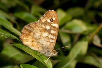 Speckled Wood ( Pararge aegeria ) on a leaf
