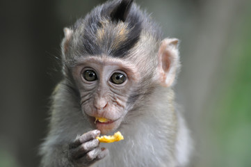 Foto op Aluminium Aap barbary macaque monkey eating fruit