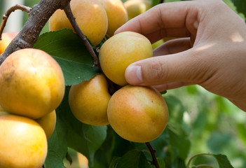 picking apricots from the tree
