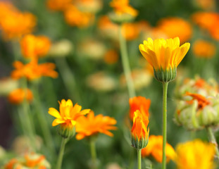 Yellow flower in garden. Shallow DOF.