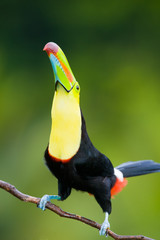 Wall Mural - Keel Billed Toucan, from Central America.