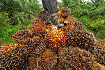 seed of oil palm, thailand