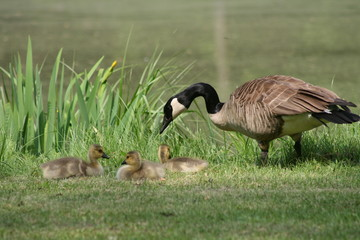 Spring Goose and goslings