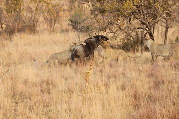 Lions pulling down prey