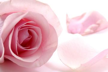 Close up of pink rose with petals