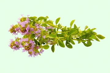 flower of the herb on a white background
