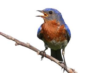 Fotoväggar - Isolated Bluebird On A Stick