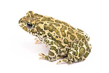 Colorful toad isolated on white background