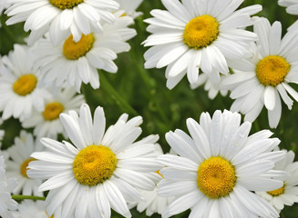 Garden daisy meadow