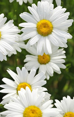 Garden daisy after rain