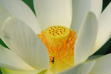 fior di loto fiori 495