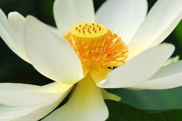 fior di loto fiori 522