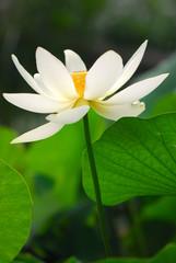 fior di loto fiori 525