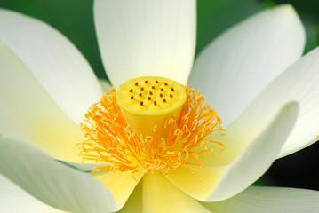 fior di loto fiori 526