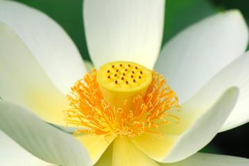 fior di loto fiori 527