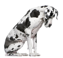 Fototapete - Great Dane Harlequin sitting in front of white background