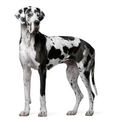 Great Dane Harlequin, 4 years old, standing