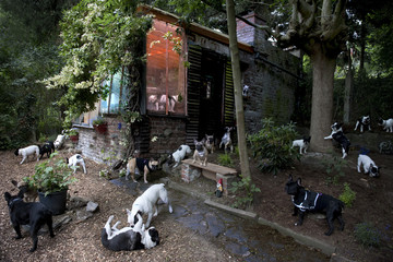 French bulldogs in a garden