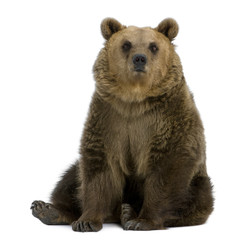 Fototapete - Brown Bear, 8 years old, sitting in front of white background