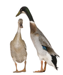 Male and female Indian Runner Ducks, 3 years old, standing