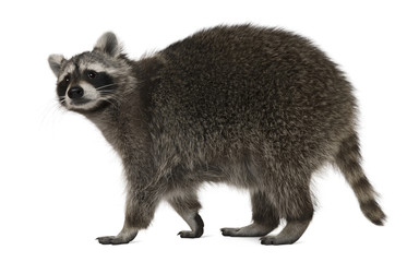 Wall Mural - Raccoon, 2 years old, walking in front of white background