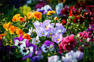 Multicolored violet flowers
