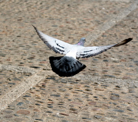 Pigeon take off